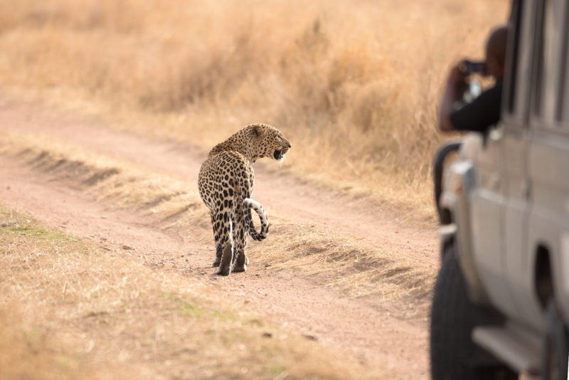 Lion-car-safari