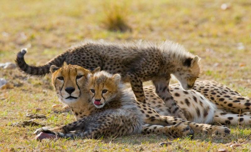 safari-tanzania-cheetahs
