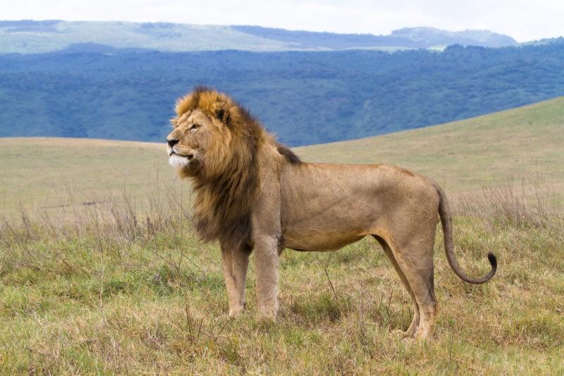 tanzania-lion-ngorongoro