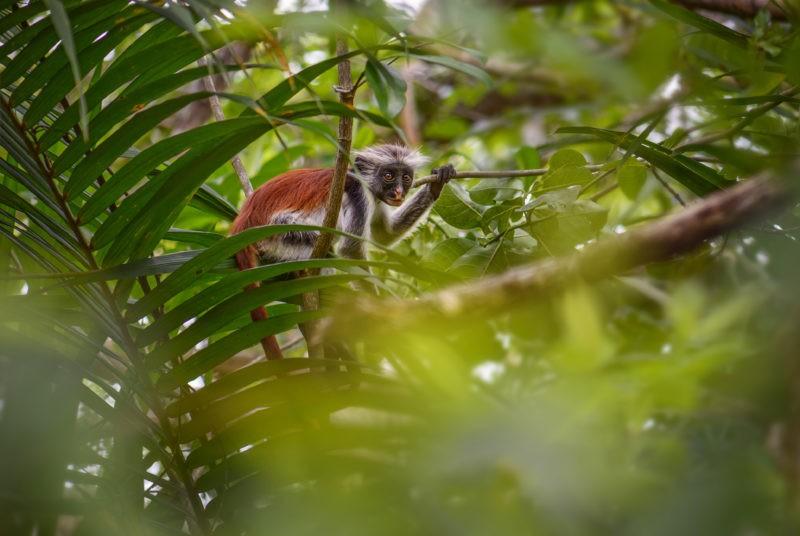 Zanzibar-Red-Colobus