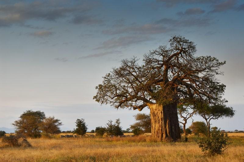 baobabs-tarangire-park