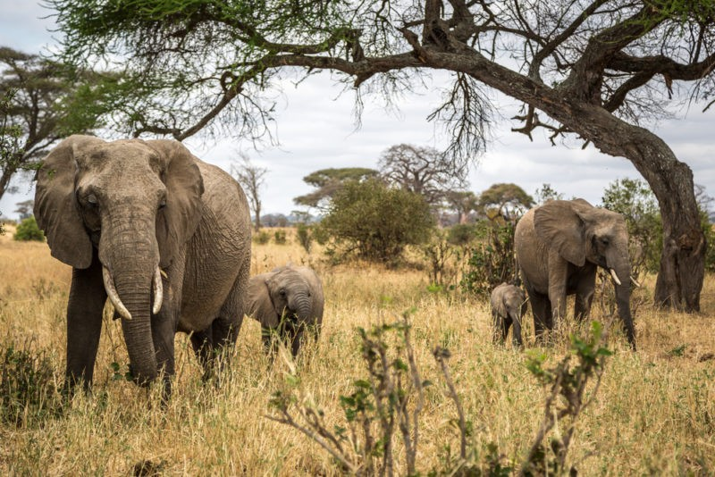 tarangire-elephants-herds-dry-season