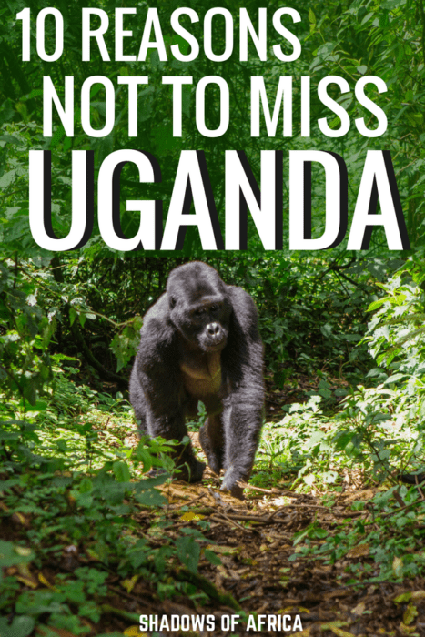Uganda has so many incredible adventures to offer! From gorilla trekking and chimpanzee trekking to the Nile river and safaris. Here's why you need to include Uganda in your Africa itinerary! #uganda #gorilla #africa #travel #adventuretravel #trekking