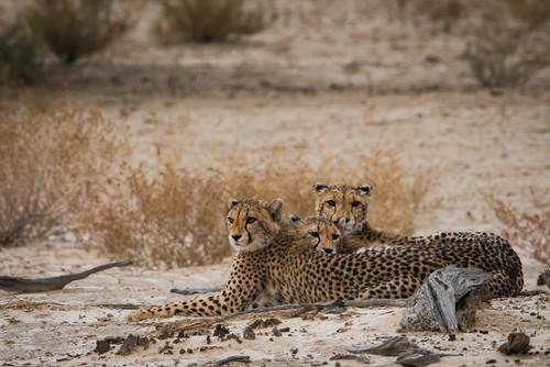 south africa cheetahs safari