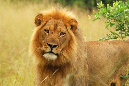 zimbabawe-lion