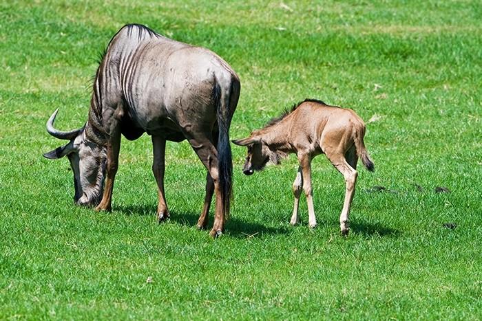 Wildebeest Migration Safari - Calving Season - 4 days (December to March)