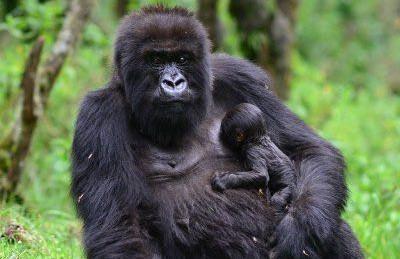 Two Day Rwanda Gorilla Experience