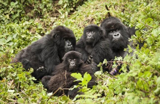 Gorillas Trekking