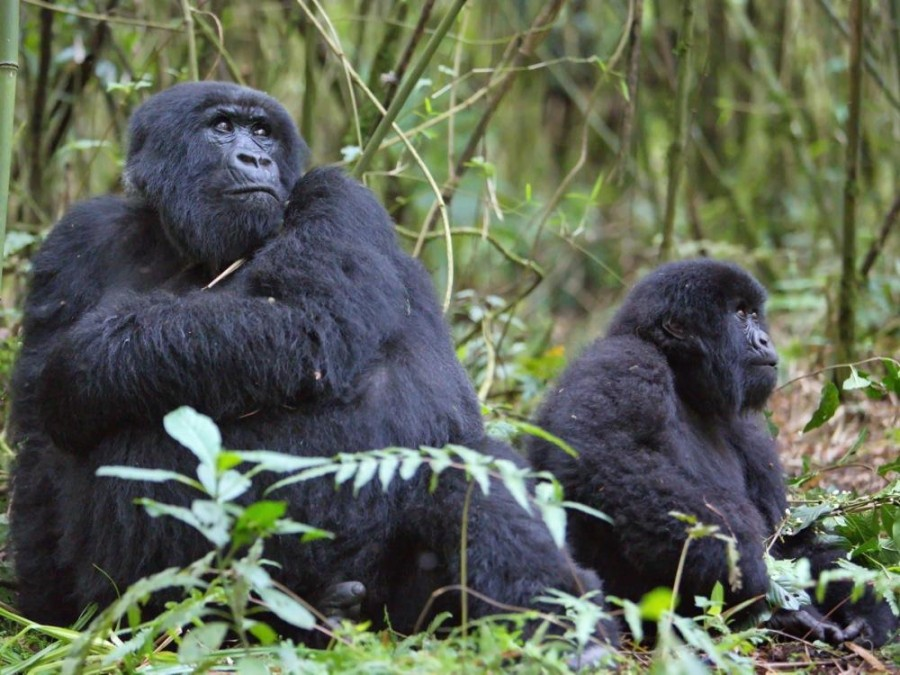 Rwanda Gorilla Express