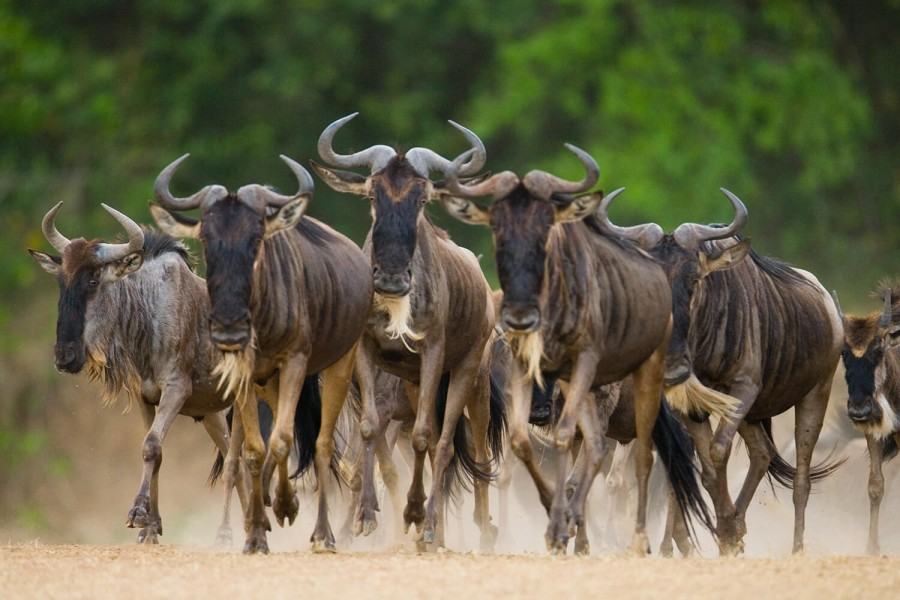 """Wildebeest Migration Safari """"Fly in"""" 5 days (July to October)"""