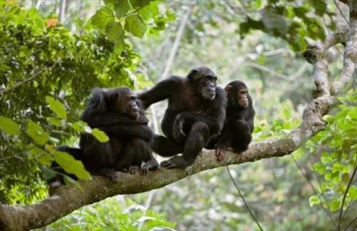 Chimpanzee tracking in Gombe - 5 days tour
