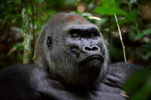 UGANDA  Bwindi Gorilla Trekking Safari from Kigali