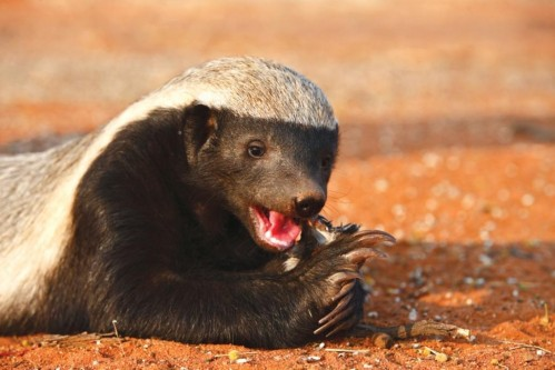 Honey Badger(Mellivora capensis)