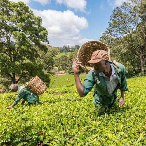 One Day at Kiambethu Tea Farm, Limuru - Trip from Nairobi