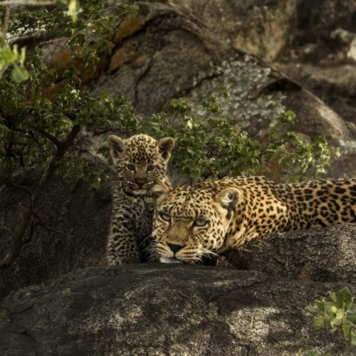 Leopard (Panthera pardus)