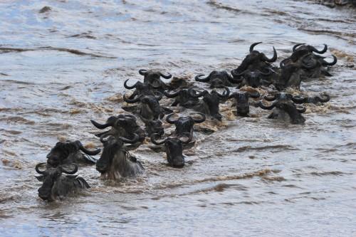 Wildebeest migration Masai Mara safari fly inn 3 days