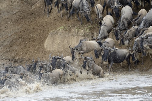 "Wildebeest Migration  Safari River Crossing- 6 days "" by road "" (June to October )"
