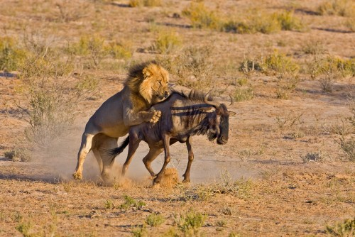 Wildebeest migration calving season and Zanzibar