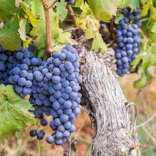 Winery tours and wine tasting around Cape Town
