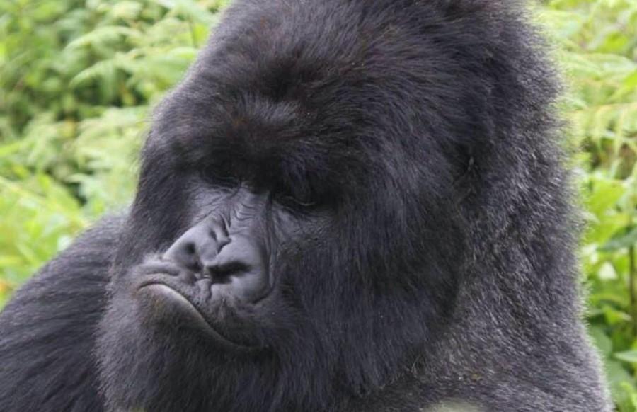 Doživetje Ruande gorile in šimpanzi - 7 dni