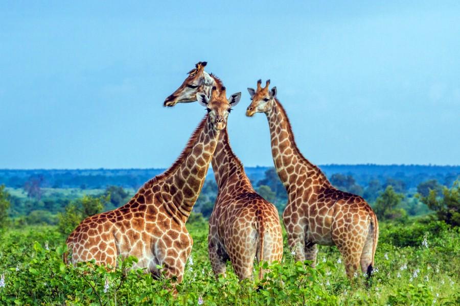 Gonarezhou national park giraffe