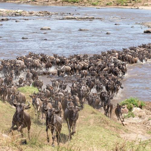 Amazing Wildebeest migration
