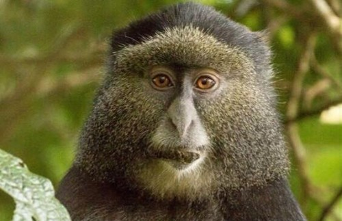 RWANDA  Gorillas and Golden Monkeys Tour
