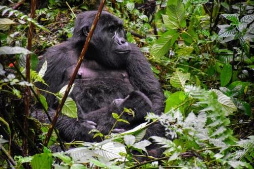 UGANDA Fly In Gorilla Experience