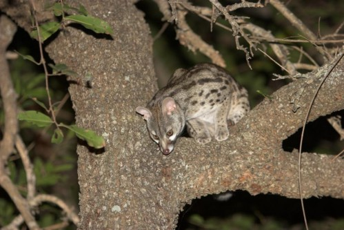 Large-spotted Genet (Genetta tigrina)