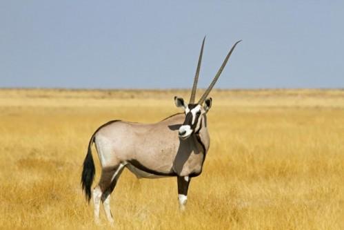 East African Oryx (Oryx beisa)
