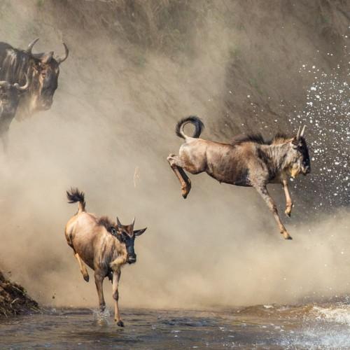 Great Wildebeest Migration in Masai Mara