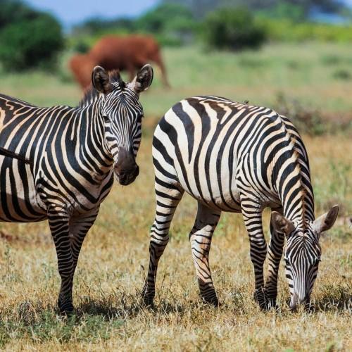 3 dni-Amboseli in Zahodni Tsavo safari