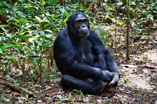 Chimpanzee Habituation Experience in Kibale National Park