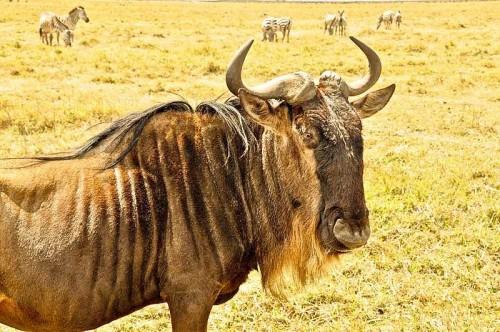 Wildebeests in Serengeti National Park