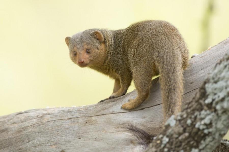Dwarf Mongoose (Helogale parvula)