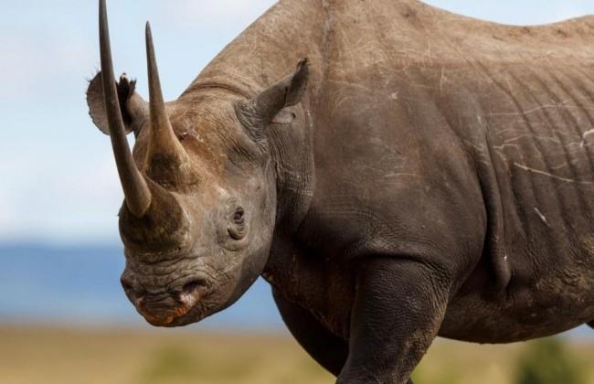 Black rhinocerous (Diceros biconis)