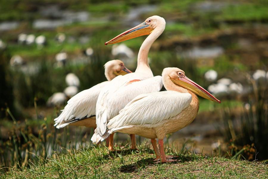 Lake Manyara with thousands of flamingos