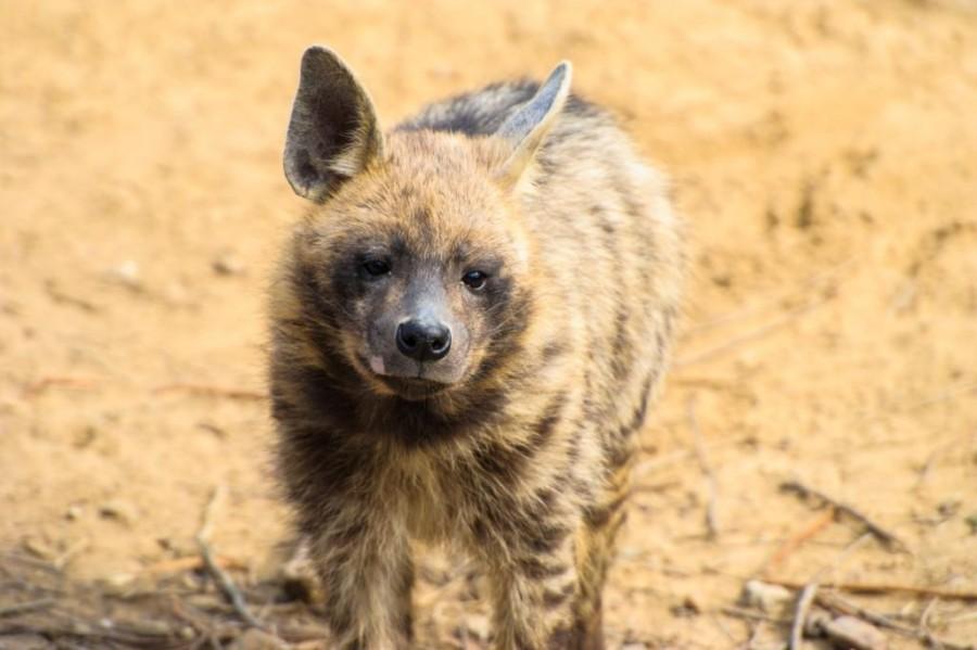 Striped Hyena (Hyaena hyaena)