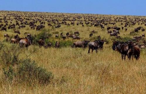 Пересечение Реки Антилопами Гну - (Июль - Октябрь)  -6 Дней