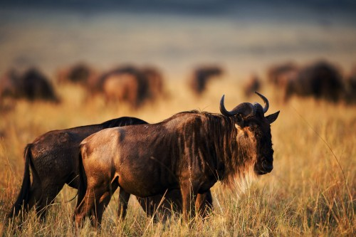 Wildebeest migration spectacle
