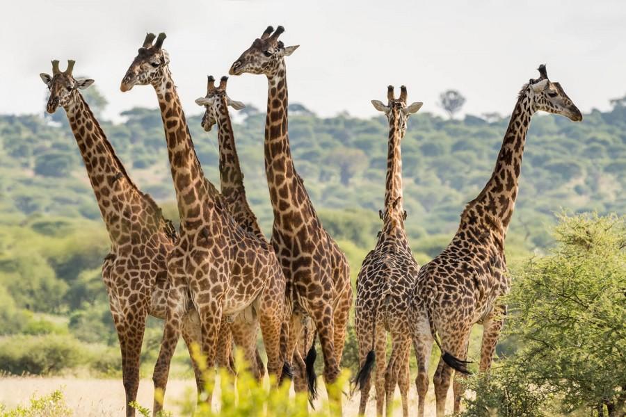 Safari from Zanzibar - Big Five Safari - Six days