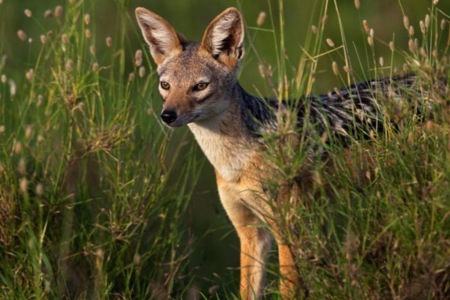Black Backed Jackal (Canis mesomelas)