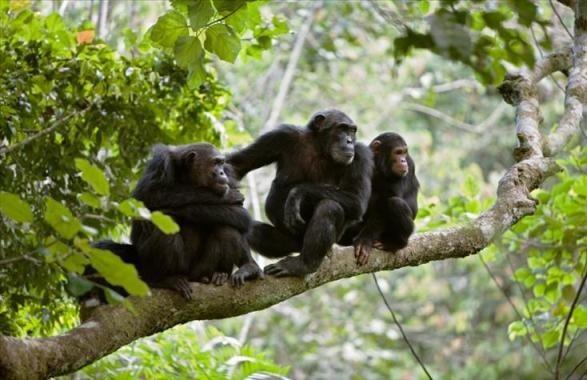 Chimpansee-trek tocht in Gombe - 5 dagen tour