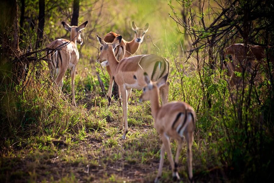 Vijf Dagen Gnoes Migratie Kalf Seizoen Safari (december-maart)