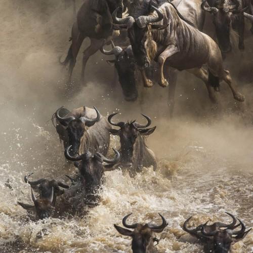 Zesdaagse Wildebeest Grote Migratie Rivieroversteek Safari (juli - oktober)