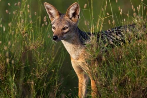 Black backed jackal (Canis mesomelas)