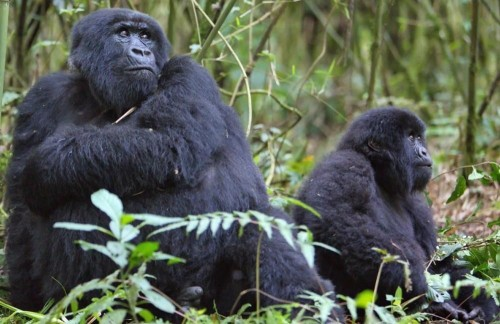 Four Day Ugandan Primate Special from Kigali