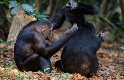 Five Day Chimpanzees of Mahale Experience