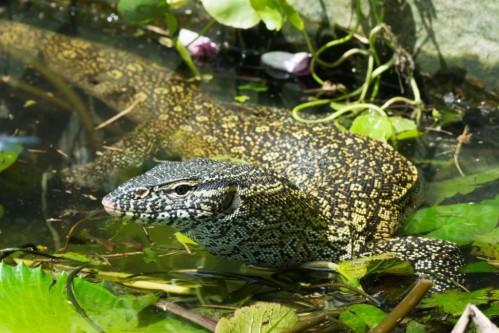 Nile Monitor (Varanus niloticus)