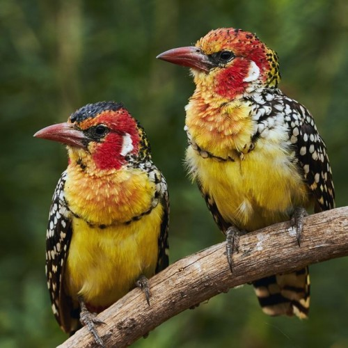 Red-and-yellow Barbet (Trachyphonus erythrocephalus)